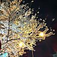 駒込駅前_夜桜