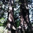 樹齢750年